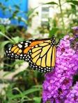 MonarchonFlower