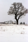 Sassafrass_Tree_In_Winter
